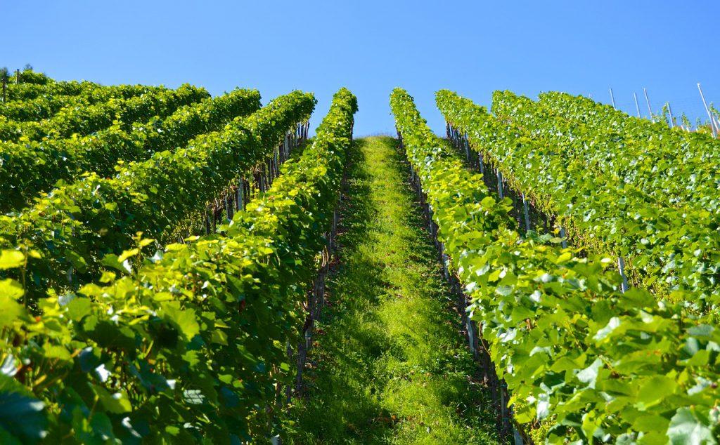 Chorwackie wino